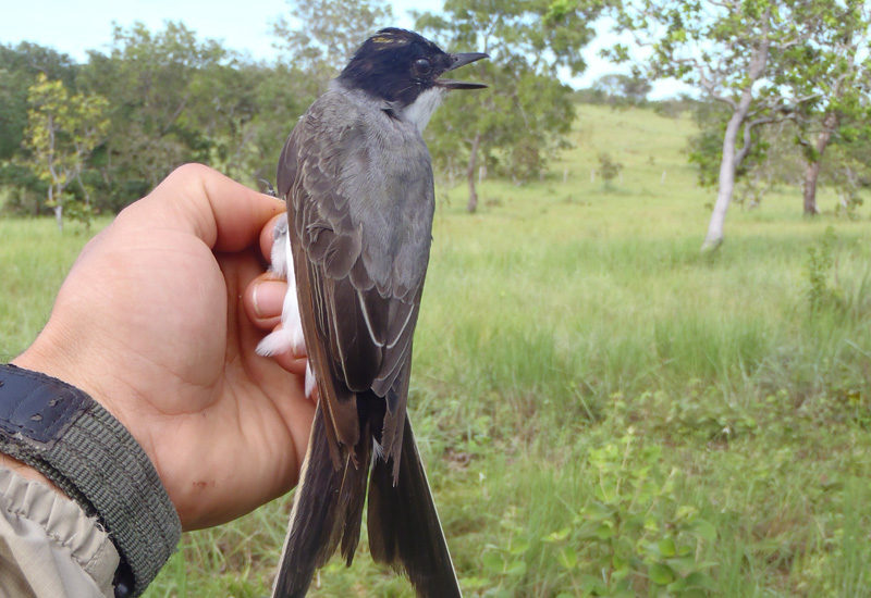 What is the relationship between climate and flycatcher migration?