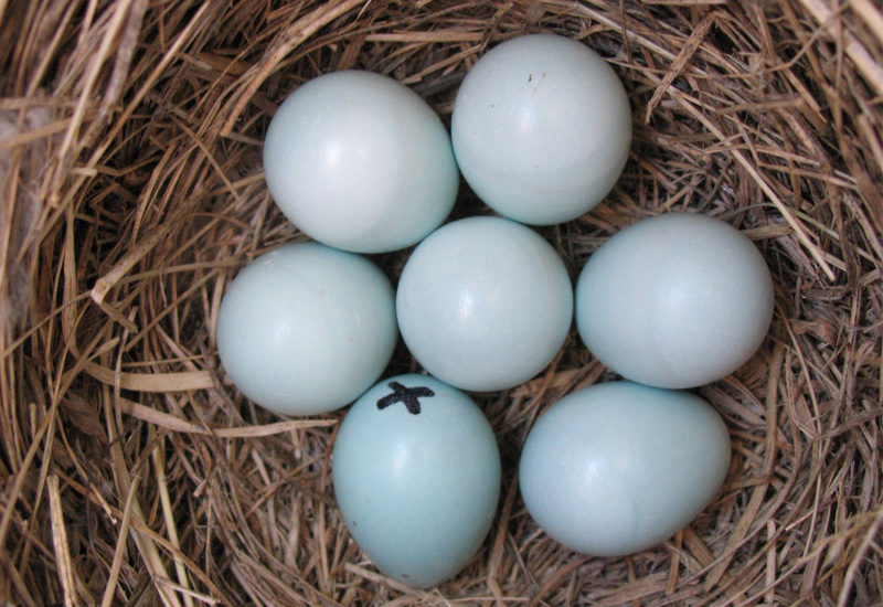 Gambling at a high-elevations: the risks of enlarged eggs for Mountain Bluebirds
