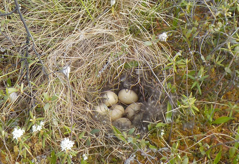 Microhabitat nest‐site selection by ducks in the boreal forest