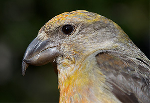 (English) Nest-site selection by Cassia Crossbills and management implications