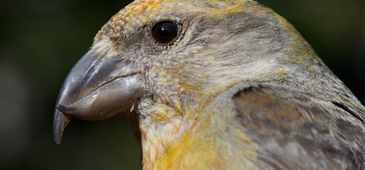 Nest-site selection by Cassia Crossbills and management implications