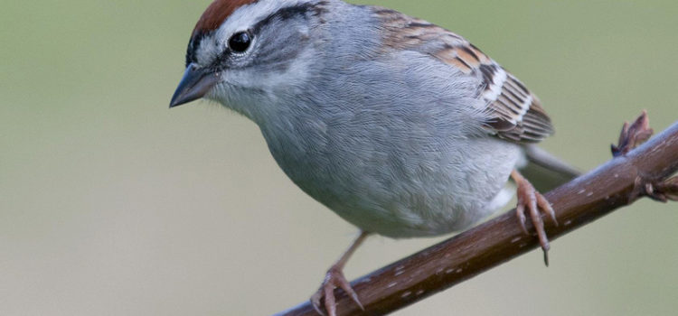 Citizen-science recordings prove to be a useful tool in detecting diel patterns in birdsong