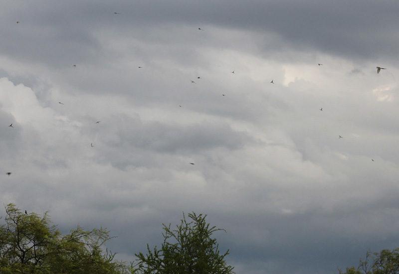 Flycatcher migration in Tucumán