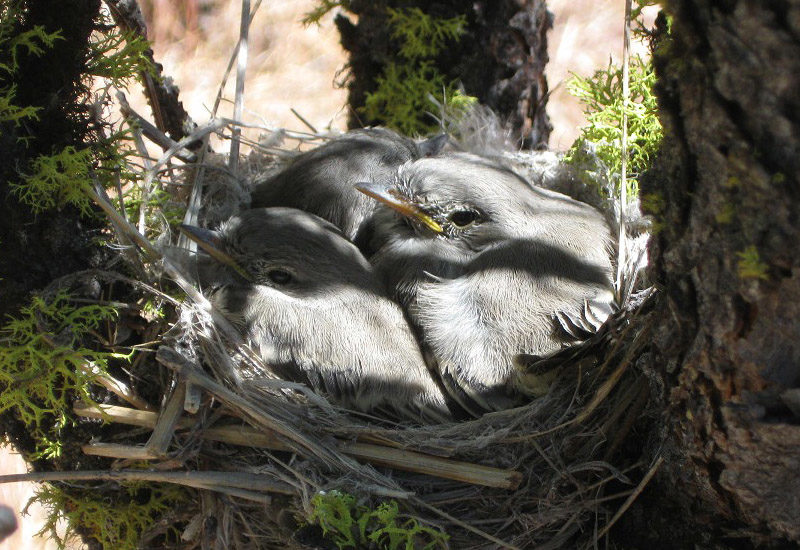 (English) The nesting ecology of Gray Flycatchers
