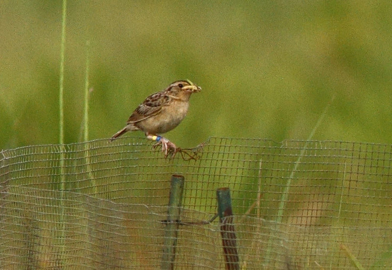 (English) Researchers Develop an Effective Tool for Reducing Mammalian Predation at Nests of Critically Endangered Florida Grasshopper Sparrows