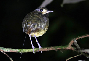 Tagging Amazonian birds led to harness improvements