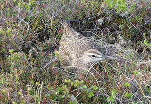 (English) Diverse patterns of migratory timing, site use, and site fidelity by Alaska-breeding Whimbrels