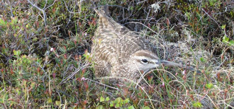 Diverse patterns of migratory timing, site use, and site fidelity by Alaska-breeding Whimbrels