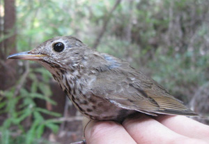 (English) Baja or bust! Wintering destinations of Monterey Hermit Thrushes