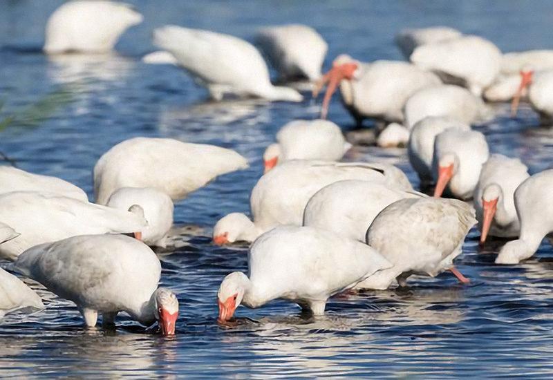 Foraging White Ibis target inter-habitat prey movements in the Florida Everglades