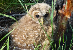 (English) In the hot seat: Mexican Spotted Owl habitat could dry up in the face of climate change