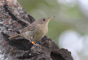 (English) Conventional and network analyses of song organization and complexity in northern House Wrens