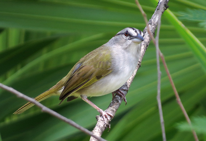 Do you sing like I do? Geographic variation in the vocalizations of a Neotropical sparrow species complex