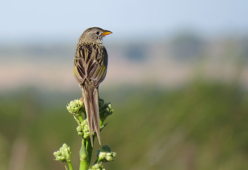 Passive restoration contributes to bird conservation in Brazilian Pampa grasslands