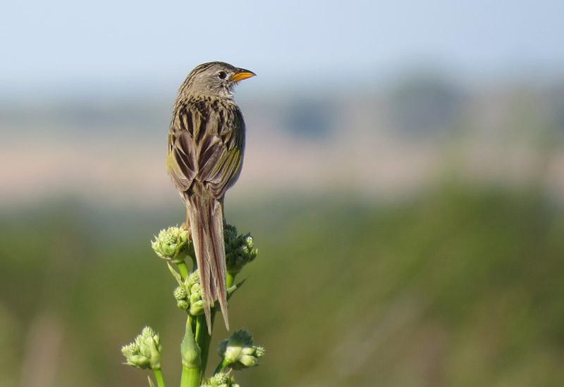 Passive restoration contributes to bird conservation in Brazilian Pampa grasslands
