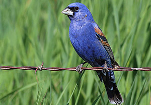 (English) Mid-summer arrival by Blue Grosbeaks at the northern extent of their breeding range: evidence for dual breeding?