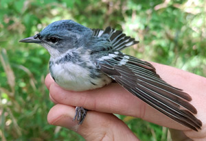 (English) Documenting the ecology of Cerulean Warblers in the understudied Ozark region