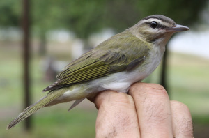 Red-eyed Vireo captured in Tucuman