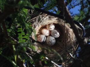 Parasitized Fork-tailed Flycatcher nest/nido de tijereta parasitada