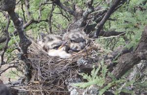 Fork-tailed Flycatcher nestlings/pichones de tijereta